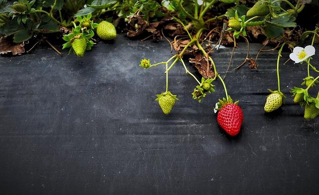 nezralé jahody
