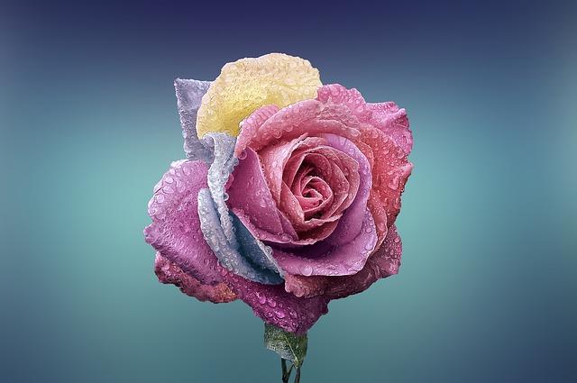 duhová růže