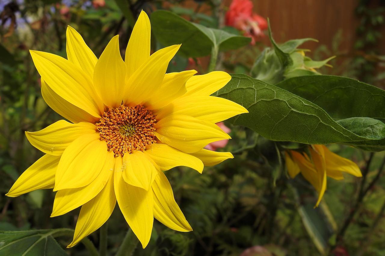 sun-flower-1586949_1280